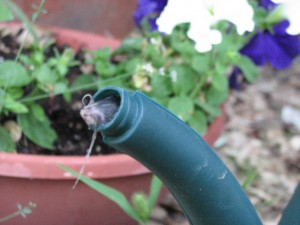 Mouse in watering can spout.
