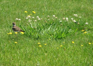 Kildeer and bumblebee