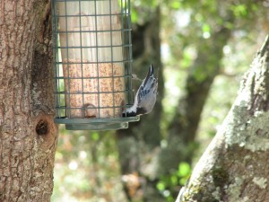 Nuthatch diving for sunflower seeds